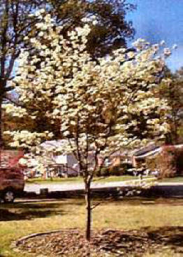 White flowering dogwood growth rate image collections flower white flowering dogwood growth rate image collections flower creekside village landscaping website the white flowering dogwood mightylinksfo