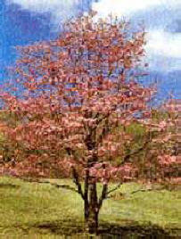 Creekside village landscaping website pink flowering dogwood tree cornus florida rubra has very large pink flowers that appear in the early spring before the foliage comes out mightylinksfo